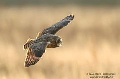 Short eared owl photo by Dean Eades - BirdMad