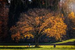 Autumn Tree photo by Chrisnaton