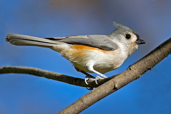 Tufted Titmouse photo by Brian E Kushner