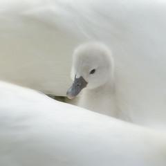 jonge zwaan - swan photo by ellacsapfoto - 39 photo's