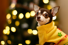 Dog portrait with Christmas tree lights background photo by curtisWarwick