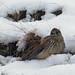 Kestrel in the snow