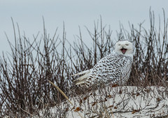 Snowy Owl photo by Collins93