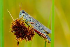 Red Legged Grasshopper Shows Abdomen Stripes photo by raypainter