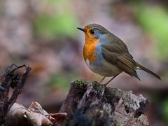 Robin company photo by creyesk