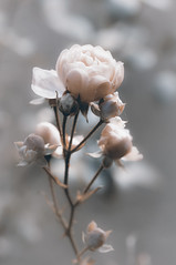 Rose in Explore photo by Uta Naumann