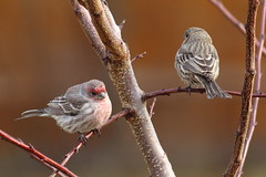 Pair of house finches photo by jlcummins - Washington State