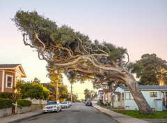 The Tree With a Mind of its Own - Pacific Grove, CA photo by Axe.Man