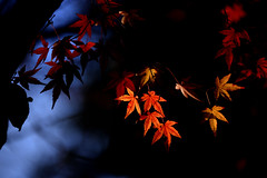 Maple red 楓葉 photo by Mel s away