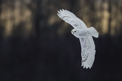 Snowy Owl Banking photo by www.studebakerstudio.com
