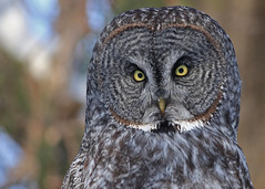 Great Gray Owl...#53 (In the wild) photo by Guy Lichter Photography - Thank you for 2M views