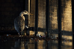 Grey Heron, London photo by Daniel Trim