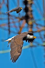 Peregrine Falcon chasing American Bald Eagle photo by Brian E Kushner