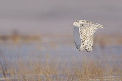 Snowy Owl - UP Michigan photo by www.studebakerstudio.com