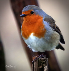 Robin photo by maggie230