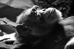 Chimpanzee (Explored) _DSC0310 photo by ikerekes81