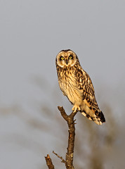 Short- Eared Owl photo by Chiv3