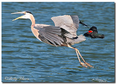 Great Blue Heron photo by Betty Vlasiu