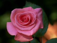 Rose in Color photo by trins