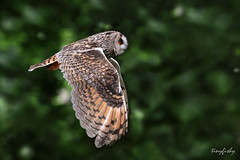 (North American Species # 558) Long-Eared Owl photo by tinyfishy (Gone to Punta Cana)