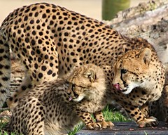 Cheetahs - Addison and one of her cubs photo by Pix.by.PegiSue -Thx 4 over 1.7M+ views! ~albums~