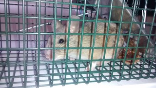 Packrat baby caught