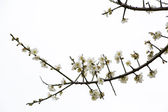 Plum Blossoms photo by zong_yu0123