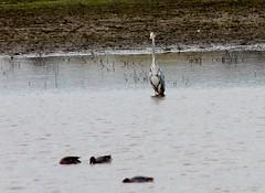 Grey Heron photo by Eddie Crutchley
