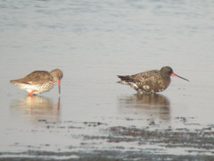 Spotted Redshank, Castro Marim (Portugal), 28-Apr-06