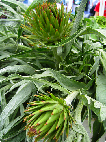 Cardoon flowers