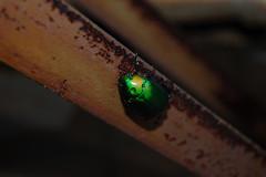 小青銅金龜