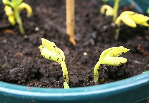 new-garden pole beans
