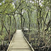 The Boardwalk through the mangroves - day time