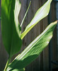hedychium-leaves.jpg