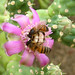 Cholla With Bees (3312A)