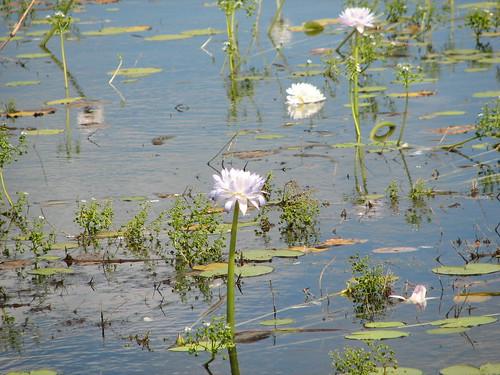 Water Lillys, Knuckey's Lagoon