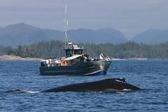 Cetacea & Humpback
