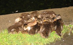 Sleeping Ducklings