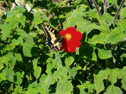 Swallowtail in Malibu