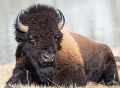 Big Boy Bison Bull photo by Glatz Nature Photography