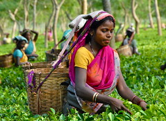 India-Assam-Tea estate photo by venturidonatella