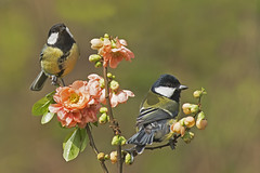 Great Tit (Parus major) photo by phil winter
