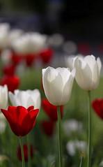 Tulips photo by Sa Mu