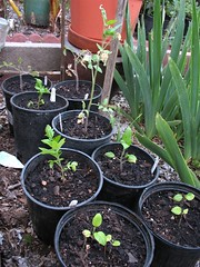 Tomatoes and Eggplants Seedlings
