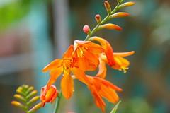 鮮やかなオレンジ色のモントブレチア