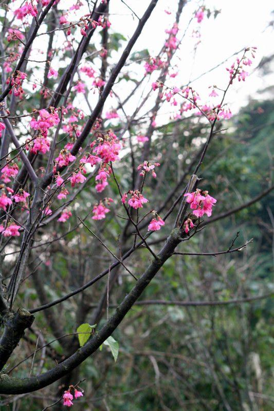 雨後的櫻花樹