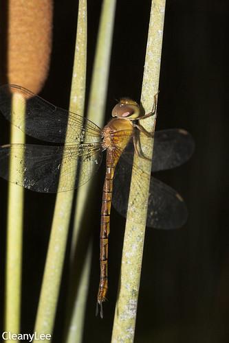 13157浡鋏晏蜓 Gynacantha bayadera 雌未熟?