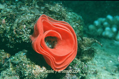 Ovos de Hexabranchus sanguineus (dançarino espanhol) em formato de rosa