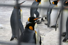 More penguins at Edinburgh Zoo