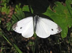 Kålfjäril